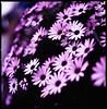 enjoying the joys of spring (moaan) Tags: life flower color 120 6x6 spring flora dof bokeh tint utata bloom flowering hue 2010 planar blooming 80mm gettyimagesjapanq1 gettyimagesjapanq2