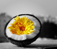What lies before us and what lies behind us are small matters compared to what lies within us. (legends2k) Tags: blackandwhite flower yellow temple lumix bright coconut shell panasonic g1 hyderabad kernel selectivecolourization kumkum fourthirds கோயில் பூ prasadham microfourthirds panasonicdmcg1 புத்தாண்டு ralphawaldoemmerson குங்குமம் தேங்காய் ப்ரசாதம்
