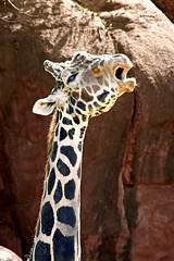 Yee---Haw !!!!! (Picture Taker 2) Tags: nature beautiful animal closeup outdoors zoo funny colorful pretty wildlife missouri giraffe curious unusual stlouiszoo captive upclose mammals zooshot wildanimals otw africaanimals sunkissedwildanimals naturewatcher