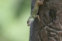"""Apr08_ DR Trip_ Bot Garden_ gecko looks up • <a style=""""font-size:0.8em;"""" href=""""http://www.flickr.com/photos/30765416@N06/4520928338/"""" target=""""_blank"""">View on Flickr</a>"""