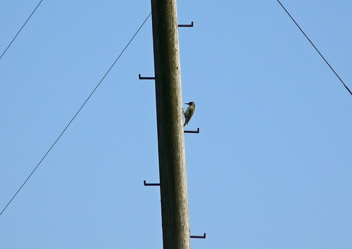 12238 - Green Woodpecker, Pontarddulais