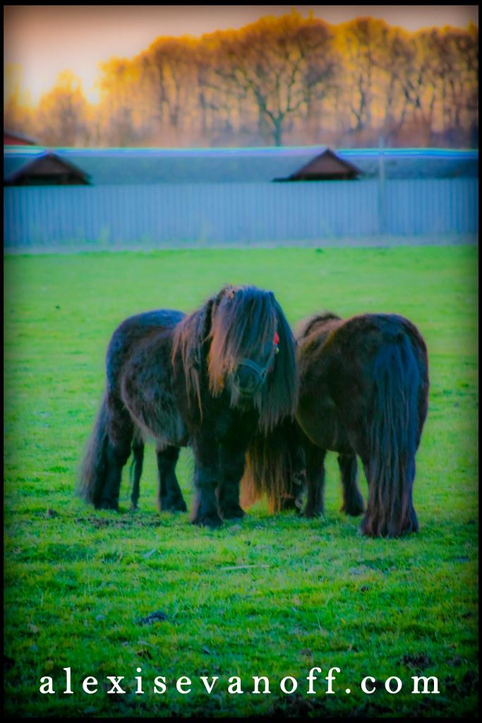 Minature Horses of Denmark© Alexis Evanoff