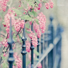 happy fence friday... ({cindy}) Tags: pink flowers green leaves fence dof explore textures flypaper ribes hff florabella