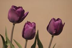 Tulip trio (metabrilliant) Tags: flower spring arboretum universityofillinois uiuc champaign blooms springtime uofi champaignil