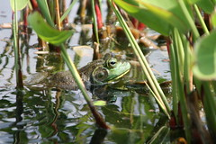 "Frog in water 2 • <a style=""font-size:0.8em;"" href=""http://www.flickr.com/photos/30765416@N06/4529220134/"" target=""_blank"">View on Flickr</a>"