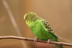 "Parakeet_ single green • <a style=""font-size:0.8em;"" href=""http://www.flickr.com/photos/30765416@N06/4529245532/"" target=""_blank"">View on Flickr</a>"