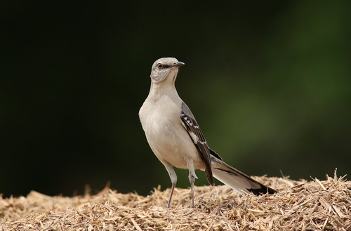 Northern Mockingbird - 4/9/2010
