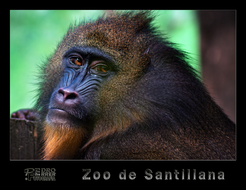 Mandril - Zoo de Santillana