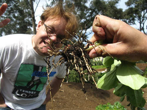 nitrogen nodes on roots of fava beans