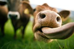 A cow's tongue #4 (dmkdmkdmk) Tags: green nature grass animal tongue closeup switzerland evening cow swiss f14 hill 24mm wettingen