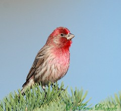 HOUSE FINCH / ROSELIN FAMILIER / carpodacus mexicanus (Mononc' Paul) Tags: friends bird finch lasalle oiseau carpodacusmexicanus roselin supershot eos30d specanimal thewonderfulworldofbirds mothernaturesgreenearth