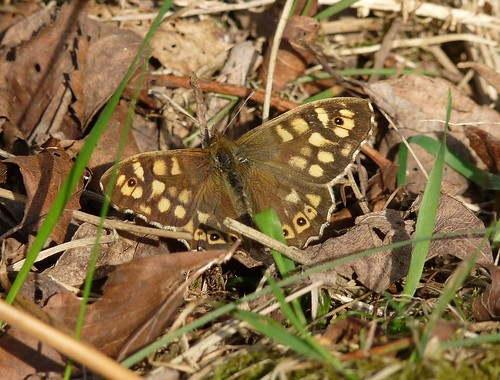 12314 - Speckled Wood