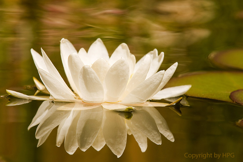 Nenúfar branco (Nymphaeaceae)