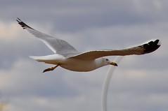 In Flight (Stella Blu) Tags: stella canada flying spring edmonton blu gull windy alberta nikkor18200 dailyshoot nikond5000 pregamewinner ds165