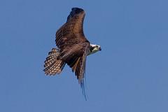 Osprey_Topside_2010_018 (Euan Reid) Tags: osprey pandionhaliaetus fisheagle seahawk diurnal