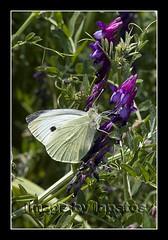 Pieris brassicae...