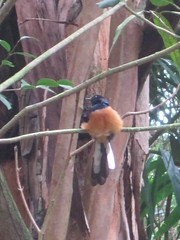 White-rumped shama (Copsychus malabaricus), a.k.a. shama thrush, guarding his territory (Joel Abroad) Tags: hawaii hiking trail honolulu shama thrush manoa copsychus malabaricus puupia