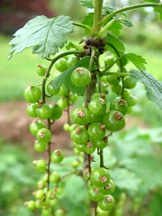 red currants to be