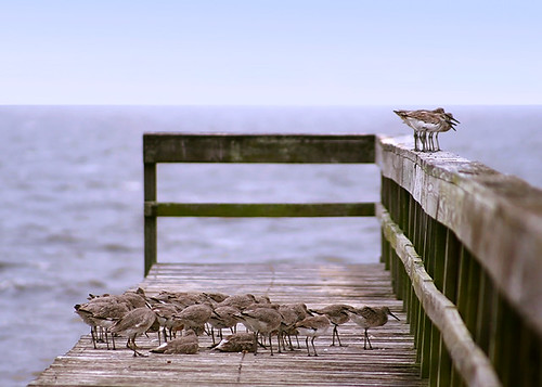 Willets on the Dock