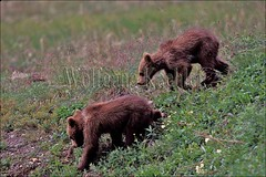 00068369 (wolfgangkaehler) Tags: bear park usa baby animal animals alaska america cub nationalpark babies wildlife bears young parks northamerica cubs grizzly denali nationalparks bearcub grizzlybear babyanimal denalinationalpark babyanimals babybear grizzlybears younganimal younganimals bearcubs babybears denalinp grizzlybearcub grizzlybearcubs babygrizzlybear babygrizzlybears
