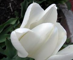 dusking tulips (dmixo6) Tags: canada green garden spring jardin muskoka 2010 dmixo6