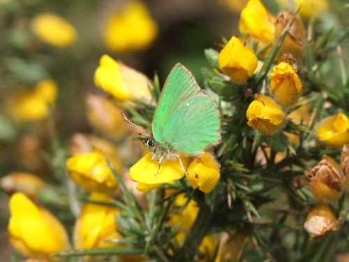 Green Hairstreak butterfly (3)
