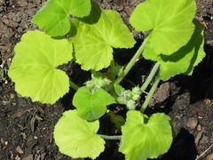 a squash plant