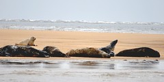Sunbathing seal style - from the boat at Blakeney Point