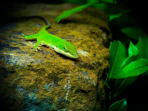 Peering Gecko