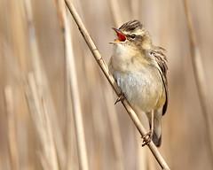 Sledgy the Sedge Warbler (Andrew Haynes Wildlife Images) Tags: bird nature wildlife norfolk nwt avian warbler sedgewarbler ajh2008 cleymarshnwt