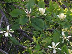 White Magnolia (BlueRidgeKitties) Tags: white plant flower tree green spring may northcarolina magnolia botany wildflower blueridgeparkway appalachianmountains magnoliaceae westernnorthcarolina manypetals wfgna southernappalachians ccbyncsa tepals magnoliafraseri mountainmagnolia canonpowershotsx10is frasermagnolia earleafcucumbertree mountainoread magnoliafraserivarfraseri