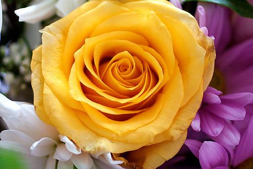 yellowrose-1