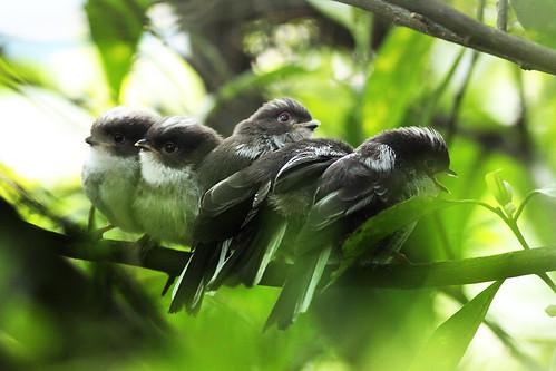 Pequenos chapins rabilongos (Aegithalos caudatus)