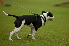 Tugging (Craig Jewell Photography) Tags: dogs pull iso200 walk australia brisbane cropped tug leash lead f28 200mm millionpawswalk 12500sec ef200mmf28lusm canoneos5dmarkii 20100516093922mg0692cr2