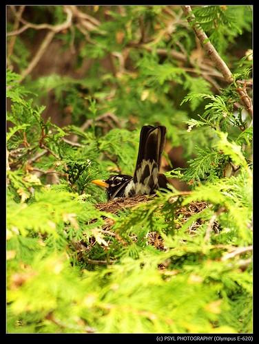 Nesting American Robin (Turdus migratorius)