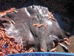 arrastre01 (Tiburones Chile) Tags: conoce pesquerias especieamenazada