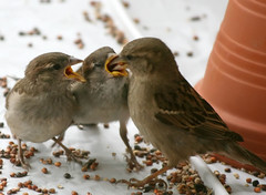 Feeding the Babies (wisely-chosen) Tags: wild birds birdseed babies eating mother may picnik 2010 housesparrows canonef70300mmf456isusmlens adobephotoshopcs4