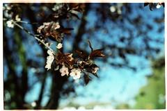 Spring's here! : ) (Holger Hill) Tags: 50mm spring cross kodak bokeh bud nikkor process blte nikonfe e100vs frhling entwicklung c41 5018 hiresscanbypixelservicenet