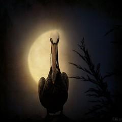 [フリー画像] 動物, 鳥類, ペリカン科, グラフィックス, フォトアート, 月, ペリカン, 201005260100