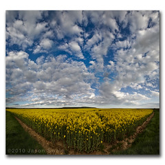Holy Canola Altocumulus Vertorama, the genetically modified Canadians are invading. (s0ulsurfing) Tags: pictures uk flowers blue shadow summer england sky panorama cloud flower art english nature beautiful field yellow clouds composition rural landscape island photography big flora scenery skies natural bright britain pov farming wide perspective may picture fluffy wideangle symmetry photograph crop vectis isleofwight 7d bloom huge vista british agriculture xxl landschaft isle depth handstitched wight canola foreground 2010 altocumulus rapeseed blackgang brassicacampestris oilseedrape 10mm brassicanapus sigma1020 s0ulsurfing vertorama canon7d southwight gratitude40