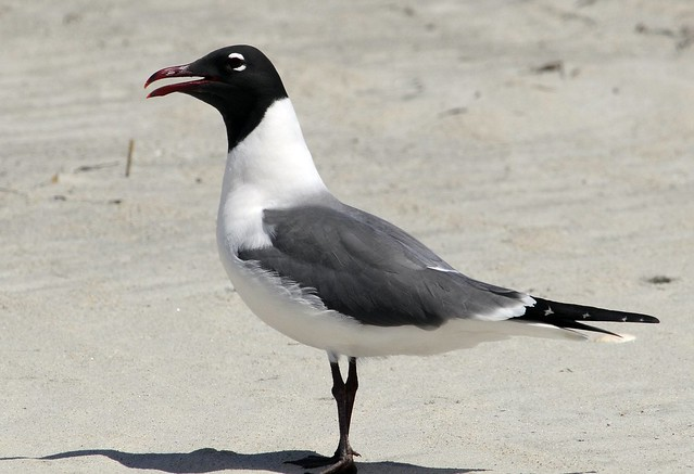 laughing gull profile