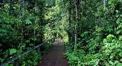 Mulu,-boardwalk (All Points East (The South East Asia Specialists)) Tags: travel southeastasia sarawak malaysia borneo mulunationalpark jungles allpointseast