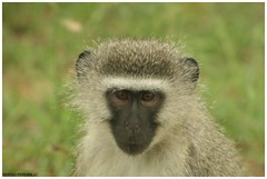 Monkey - Kruger National Park - South Africa (sergio.pereira.gonzalez) Tags: africa animal southafrica monkey mono animaux krugernationalpark sud singe afriquedusud canon400d sergiopereiragonzalez