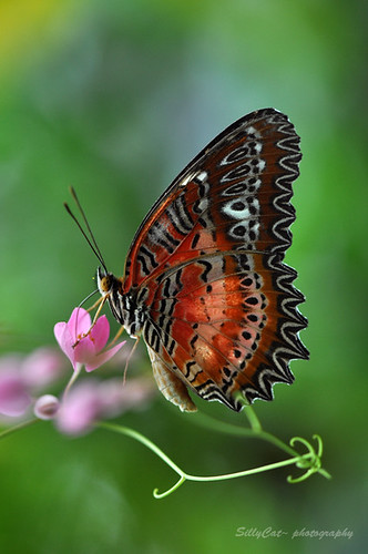 Malay Lacewing | 豹斑蝶