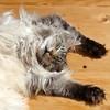 A cat's life (Cajaflez) Tags: sleeping cute cat kat chat longhair mainecoon katze gatto huisdier gatti kater floris slapen cc200 cc100 kissablekat bestofcats kittyschoice catnipaddicts saariysqualitypictures vg~catsgallery catslive