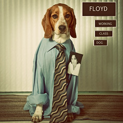 359/365 Working Class Dog (Paguma / Darren) Tags: dog album hound cover 80s floyd mwahahaha rickspringfield fgr tamronspaf1750mmf28xrdiiildasphericalif workingclassdog tomorrowimstealingmydadsapron darrenyouareawesomelovesqueaks