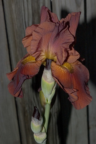 Rust Coloured Iris