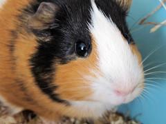 Lisa (Tereza Čechová) Tags: pet cute guinea pig guineapig lovely