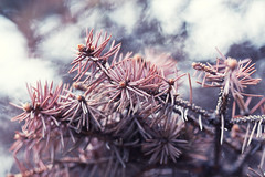 Red fir tree (Vova Ptichnikov) Tags: flowers inspiration color tree ikea canon bokeh details things inspire 100macro