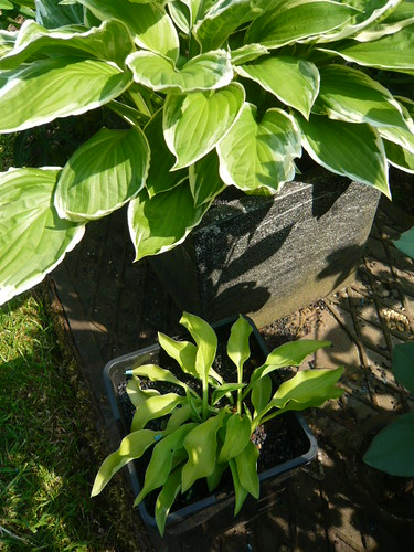 Hosta big and small